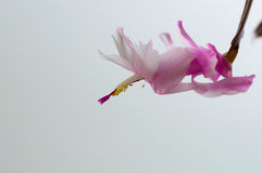 Christmas cactus. Pink christmas cactus and white background Stock Photos