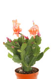 Christmas cactus plant Royalty Free Stock Image