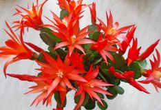 Christmas Cactus - Red Stock Photography