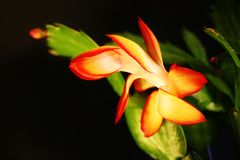 Christmas cactus Royalty Free Stock Photography