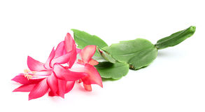 Christmas cactus. Royalty Free Stock Images