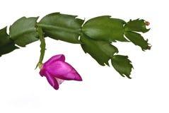Christmas cactus (Schlumbergera) Royalty Free Stock Image