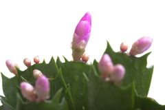 Christmas cactus, Schlumbergera. Royalty Free Stock Photography