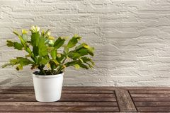 Christmas cactus Schlumbergera, beautiful flower in white flowerpot on wooden table, on white wall background in sunlight, with royalty free stock photo