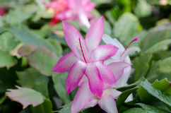 Christmas Cactus (schlumbergera) Royalty Free Stock Photography