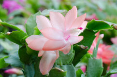 Christmas Cactus (schlumbergera) Stock Photo