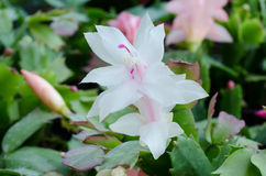 Christmas Cactus (schlumbergera) Royalty Free Stock Photo