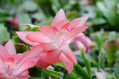 Christmas Cactus (schlumbergera) Stock Photos