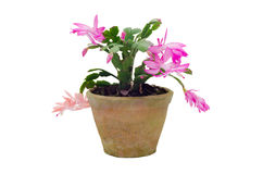 Christmas Cactus (schlumbergera) Royalty Free Stock Photos