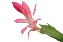 Christmas Cactus (schlumbergera) Stock Images