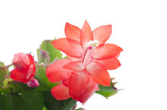 Christmas Cactus (schlumbergera) Stock Photography