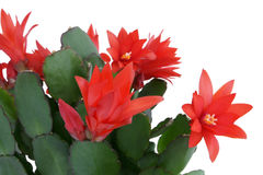 Christmas cactus. Schlumbergera. Stock Photo