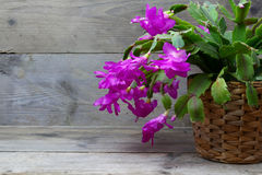Christmas Cactus (schlumbergera) in pink on wooden background Stock Photos