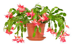 Christmas cactus (Schlumbergera) in pot isolated on white backgr Royalty Free Stock Photography