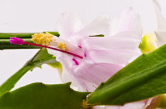 Christmas cactus - Schlumbergera truncata Royalty Free Stock Photography
