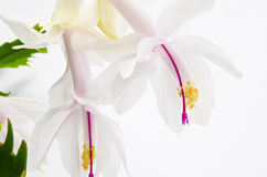 Christmas cactus - Schlumbergera truncata Royalty Free Stock Photos