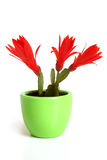 Christmas cactus. Schlumbergera. Royalty Free Stock Photography