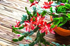 Christmas cactus Thanksgiving cactus crab holiday cactus Schlumbergera Truncata zygocactus delicate flower pot wooden background U. Rban gardening home planting royalty free stock images