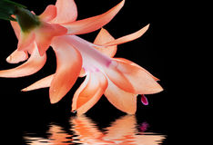 Christmas cactus with water reflection Stock Photography