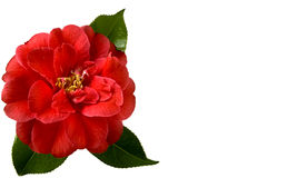 Christmas Camellia Royalty Free Stock Image