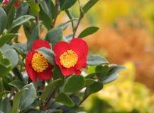 Christmas camellia flowers Stock Photos