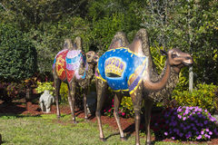 Christmas Camels in Garden Stock Photos