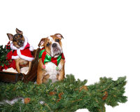 Christmas Canines. A pair of dogs in Christmas attire sit in a sleigh and evergreen looking at the camera Royalty Free Stock Photos