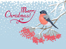 Christmas Card with Bullfinch and rowan Stock Images