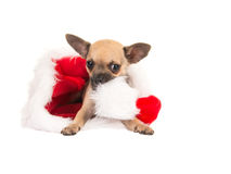 Christmas card with cute chihuahua puppy dog chewing on santa's hat Stock Photos