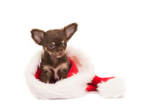 Christmas card with cute chihuahua puppy in santa's hat Royalty Free Stock Photography