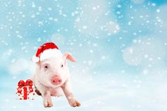 Christmas card with cute newborn santa pig piglet. Decorations symbol of the year Chinese calendar. fir background. Holidays, royalty free stock image