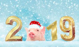 Christmas card with cute newborn santa pig piglet. Decorations symbol of the year Chinese calendar. fir background. Holidays, stock photo