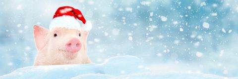 Christmas card with cute newborn santa pig piglet. Decorations symbol of the year Chinese calendar. fir background. Holidays, stock images
