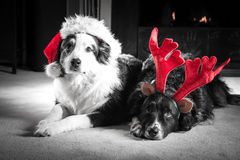 Christmas card dogs. Two Astralian Shepherd dogs dressed for Christmas in Santa hats and antlers lay by the firplace.  Selective colour Royalty Free Stock Photo