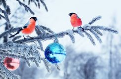 Christmas card natural landscape with two bird bullfinch on a fe royalty free stock image