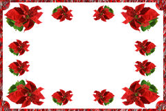 Christmas card of Poinsettia flowers. On a white background Stock Photos