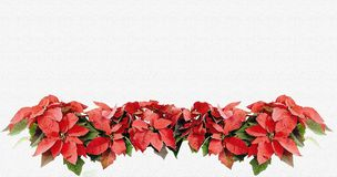 Christmas card poinsettia flowers Royalty Free Stock Photos