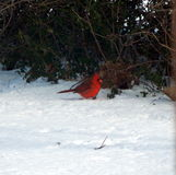 Christmas Cardinal. A cardinal sits in the stillness and wonder of Christmas time Stock Images