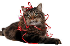 Christmas cat 11 Stock Images