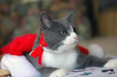 Christmas Cat. Grey and white cat playing with Christmas decorations Stock Images