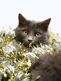 Christmas Cat. A gray kitten playing in golden and silver glittering strings with Christmas decoration pieces Stock Photo