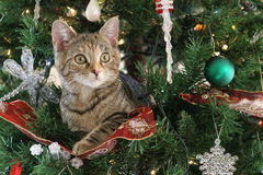 Christmas Cat. A cat in a Christmas Tree royalty free stock photography