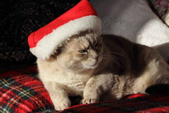 Christmas cat. A beautiful siamese cat with a Christmas hat on a comfortable couch Stock Images