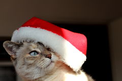 Christmas cat. A beautiful siamese cat with his Christmas hat Royalty Free Stock Photos