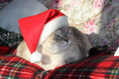 Christmas cat. A beautiful siamese cat with his Christmas hat Stock Images
