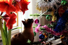 Christmas cat. A beautiful siamese cat is looking to a Christmas tree Royalty Free Stock Photo