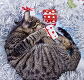 Christmas cat Royalty Free Stock Images