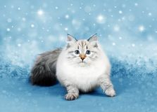 Christmas cat on blue background royalty free stock photo