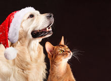 Christmas cat and dog, abyssinian kitten , golden retriever looks at right Stock Photos
