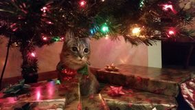 Christmas Cat Elsa Stock Photos